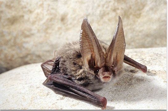 Facts about the Virginia Big-eared bat