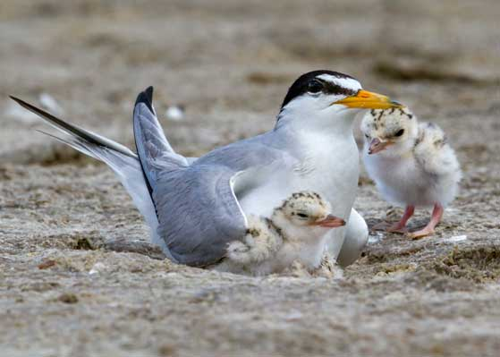 facts about the interior least tern
