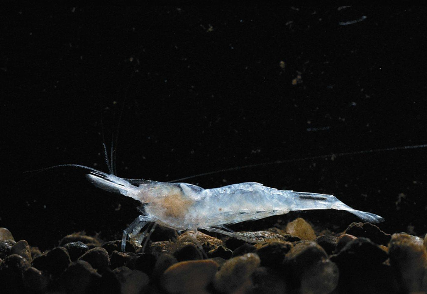 about kentucky cave shrimp