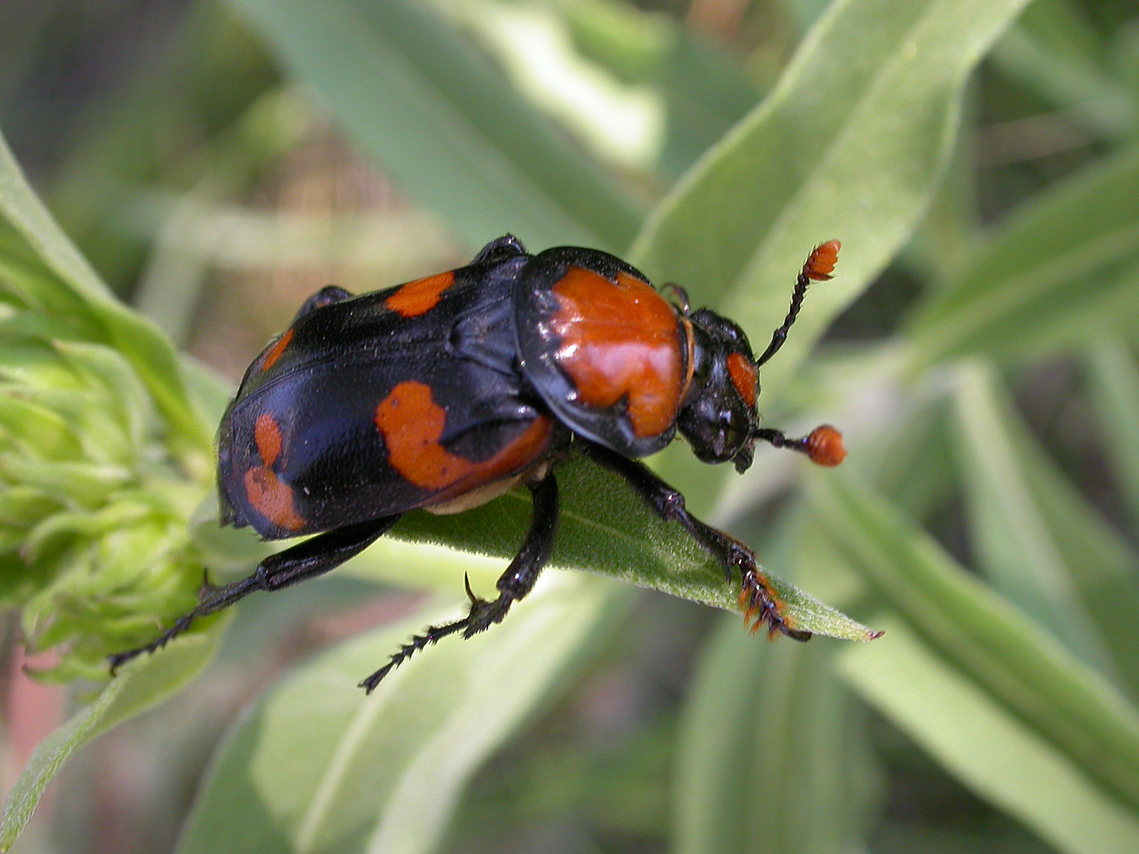 about the american burying beetle